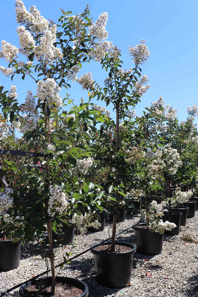 group of Lagerstroemia indica 'Natchez' in black pots