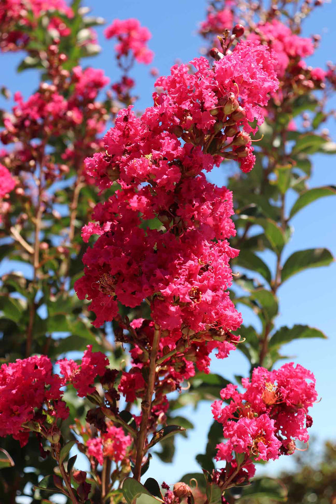 close up of the Lagerstroemia indica 'Tuscarora' pink flower