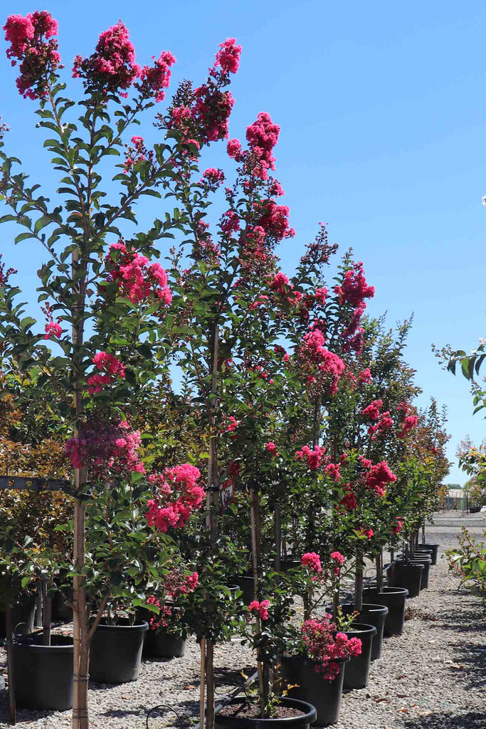 group of the Lagerstroemia indica 'Tuscarora' in black pots
