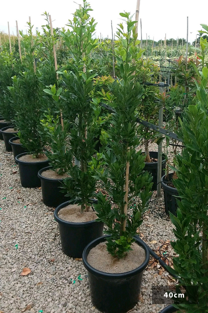 A group of Laurus nobils Miles Choice in 40cm pots