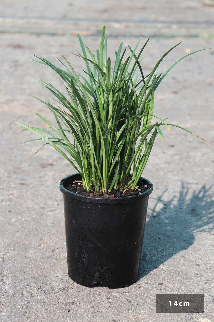 Liriope muscari 'Elmarco' in a 14cm black pot