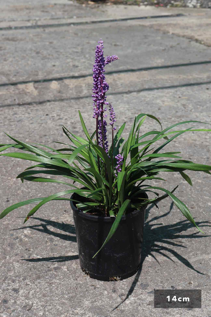 Liriope muscari in a 14cm blacck pot