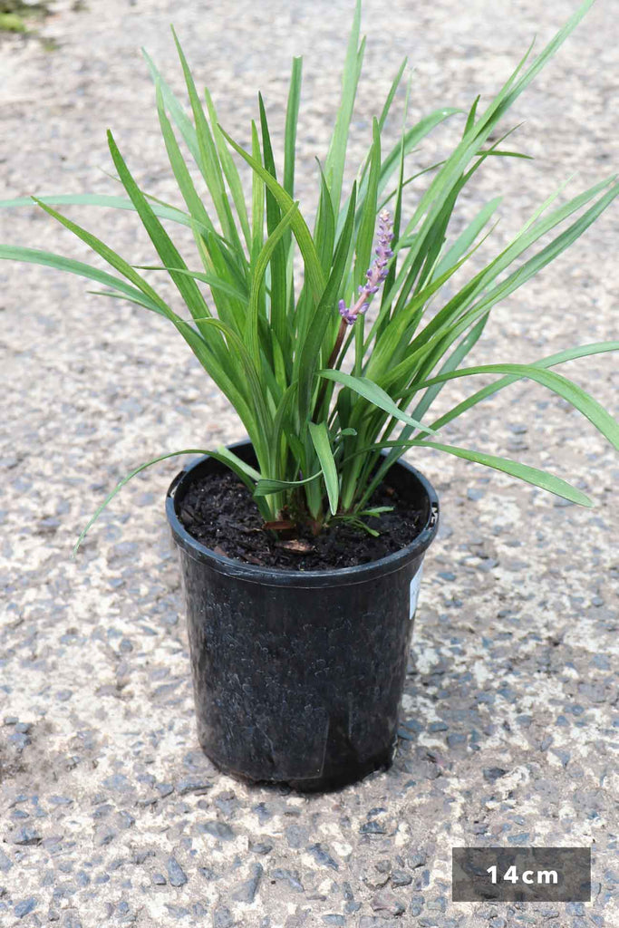 Liriope Muscari 'Big Blue' in a 14cm black pot