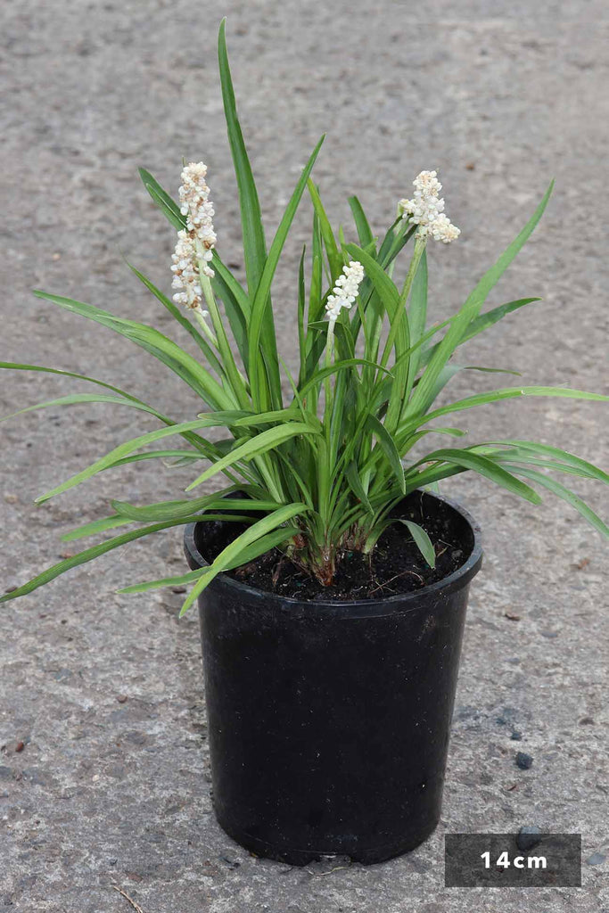 Liriope Muscari 'Monroe White' in a 14cm black pot
