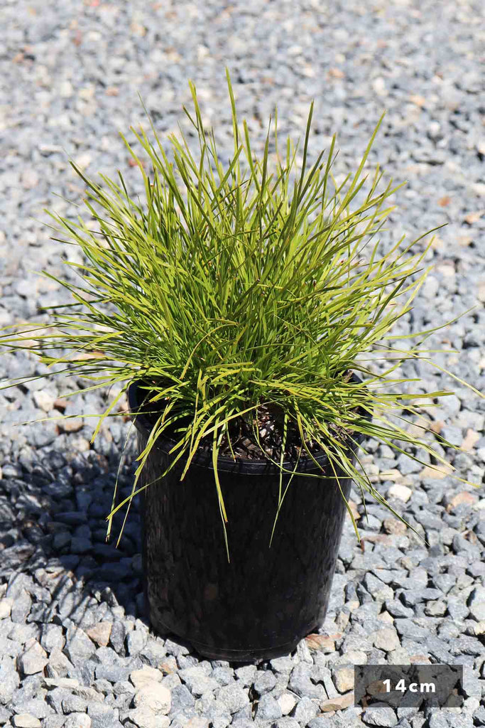 Lomandra 'Little Con' in a 14cm black pot