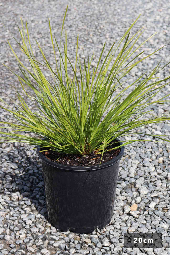 Lomandra 'Tanika' in a 20cm black pot