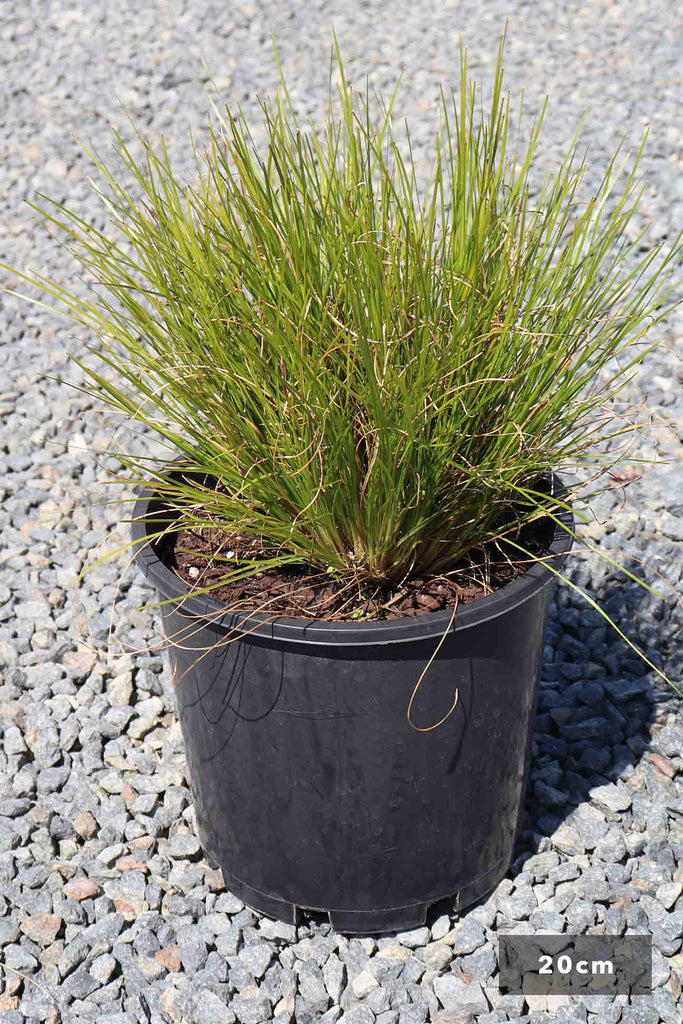 Lomandra cylindrica 'Lime Wave' in a 20cm black pot