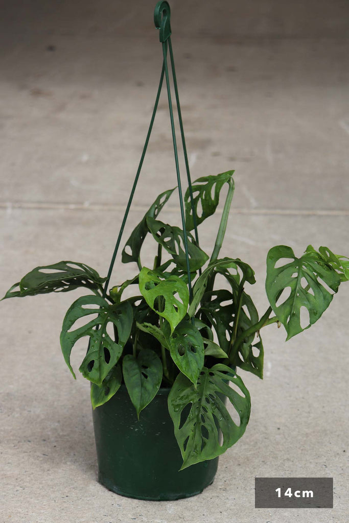 Monstera adansonii in a 14cm hanging pot