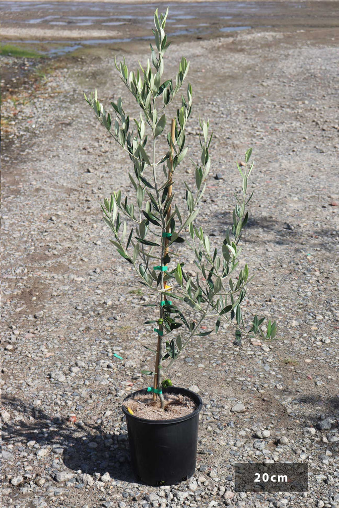 Olea europaea 'Kalamata' in a 20cm black pot
