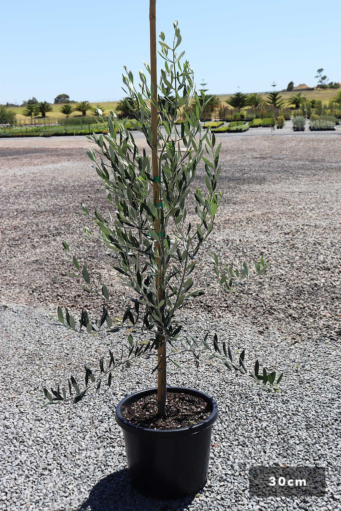 Olea europaea 'Kalamata' in a 30cm black pot