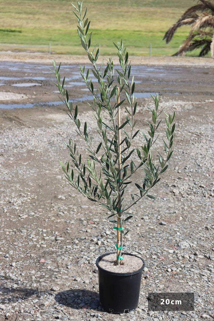 Olea Europaea Manzanillo in 20cm black pot