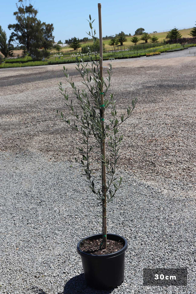 Olea Europaea Manzanillo in 30cm black pot