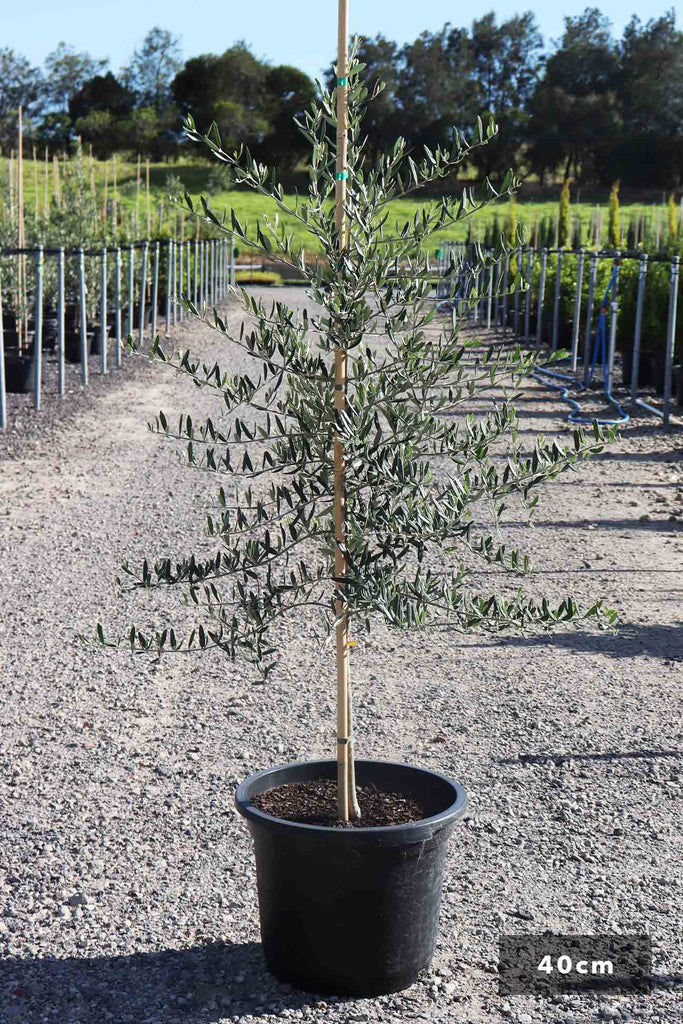 Olea europaea 'Tolley's Upright' in a 40cm black pot
