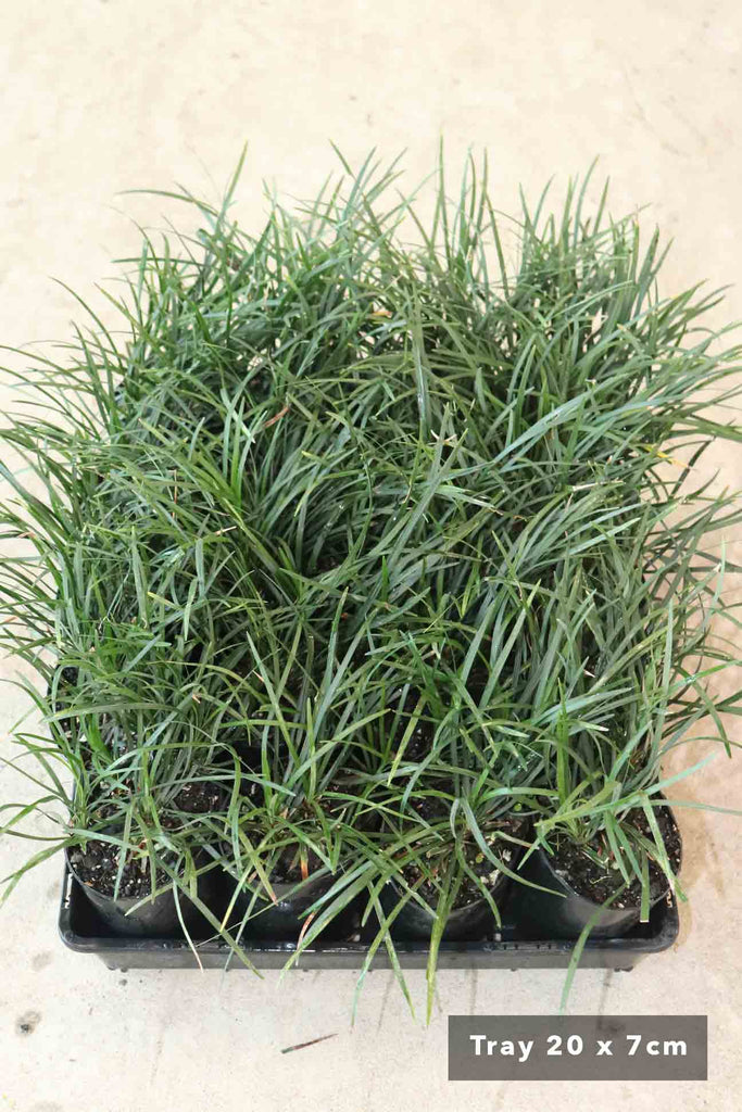 20 small 7cm black pots of Ophiopogon Japonicus in black tray