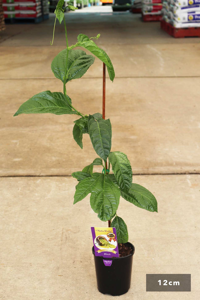 Passiflora edulis 'nellie kelly' 'black grafted' in a 12cm black pot