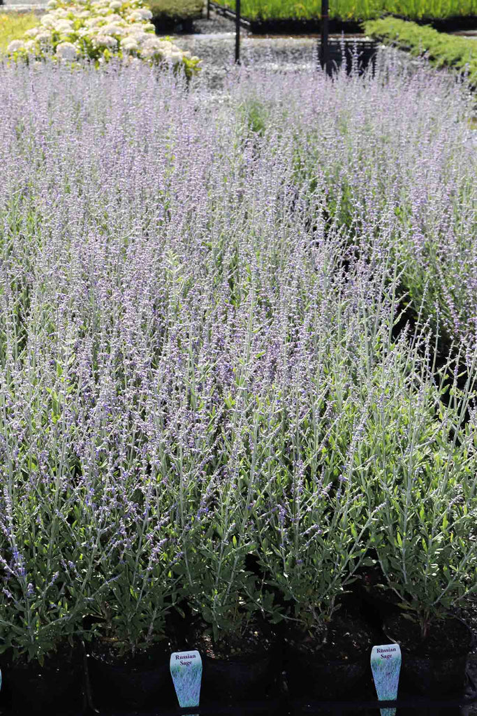 Rows of Perovskia Atriplicifolia 'Russian Sage' in black pots