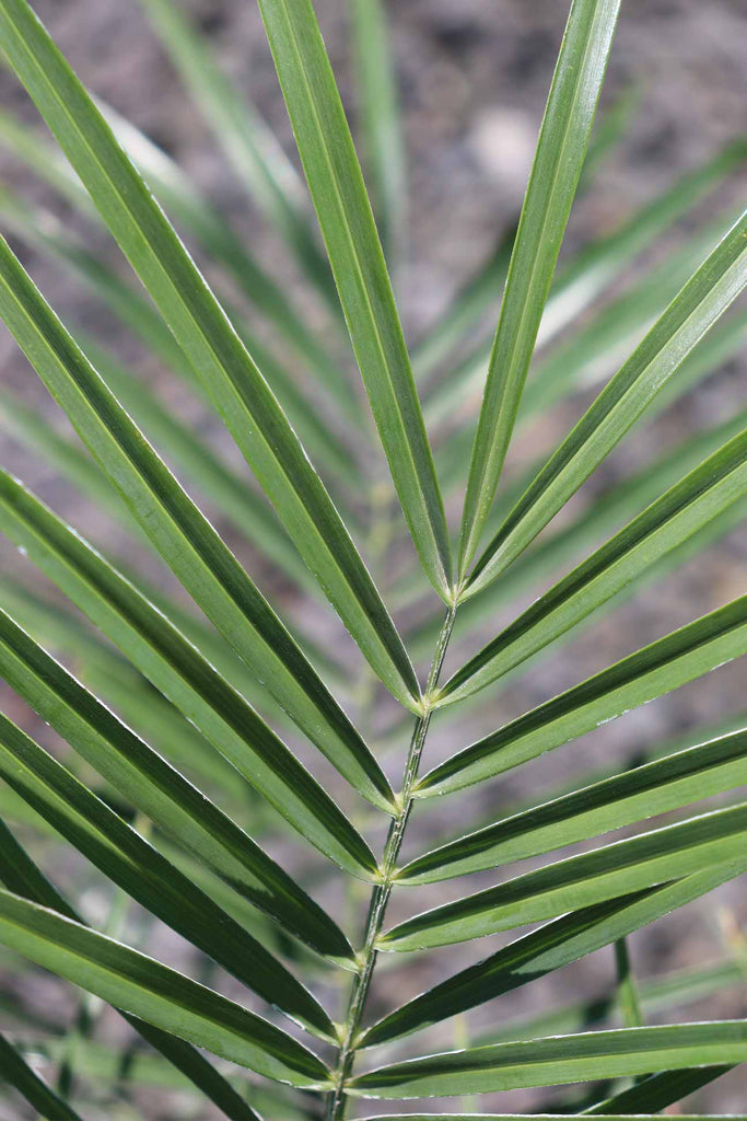 Close up of Phoenix Roebelenii  green fronds