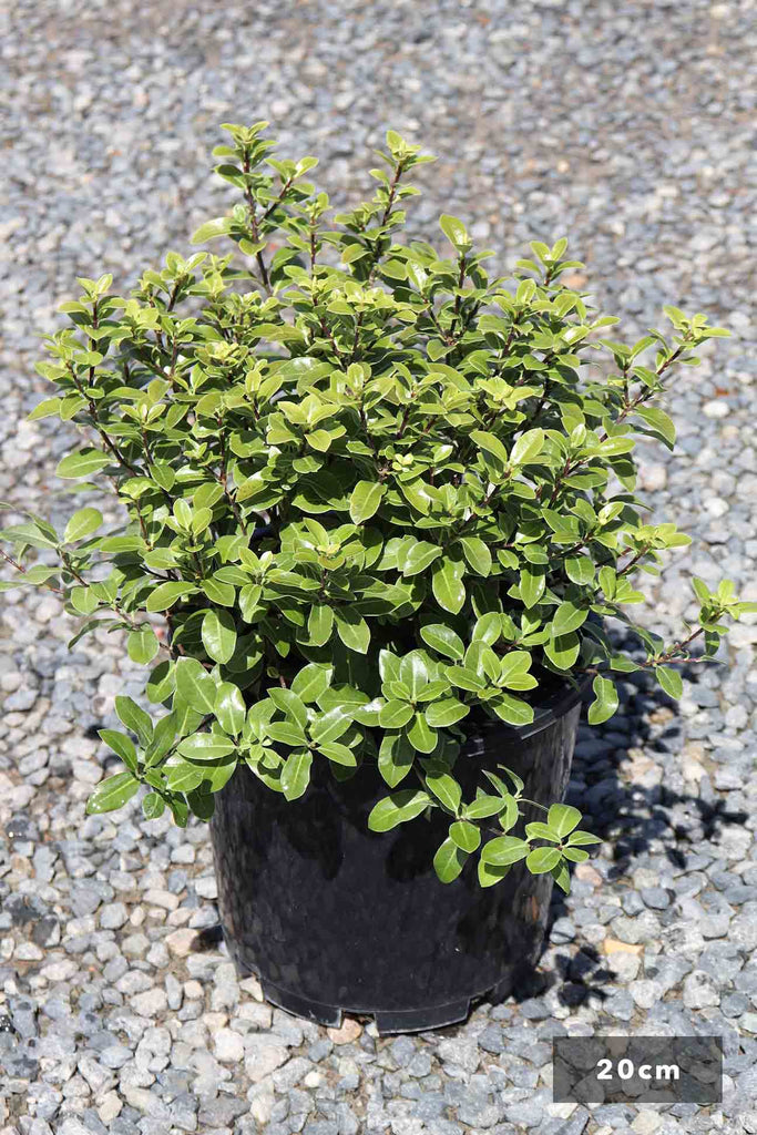 Pittosporum 'Golf Ball' in a 20cm black pot