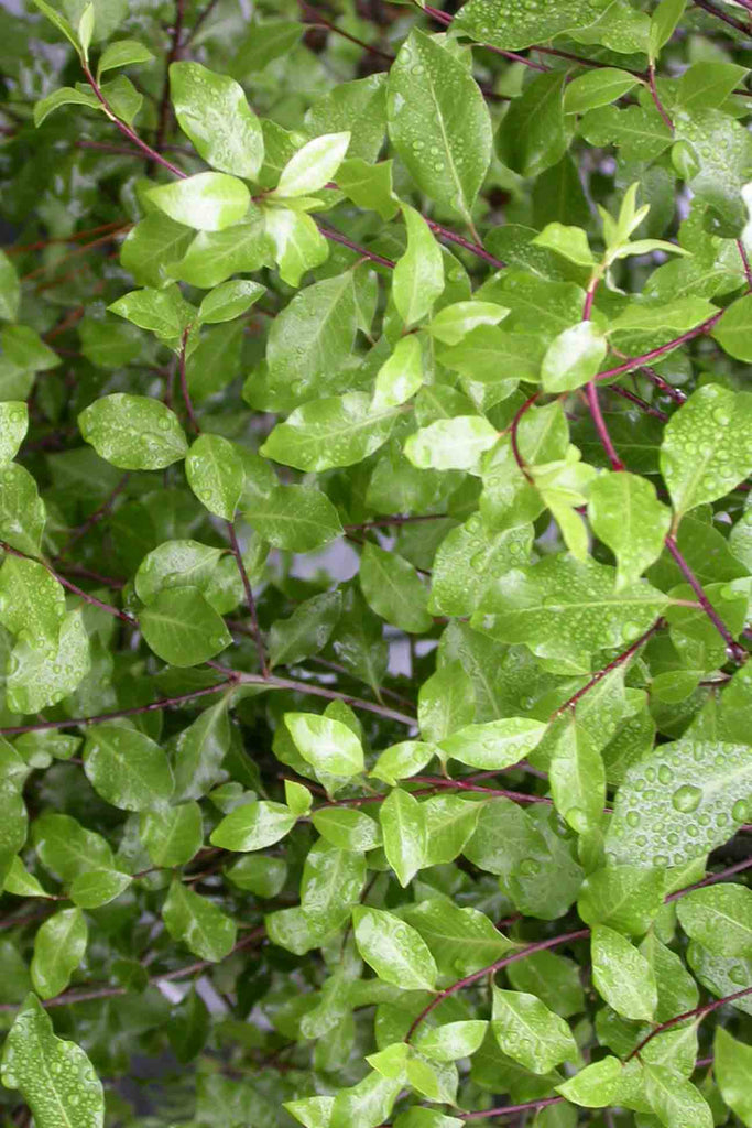 close up of Pittosporum Tenuifolium Silver Sheen green foliage