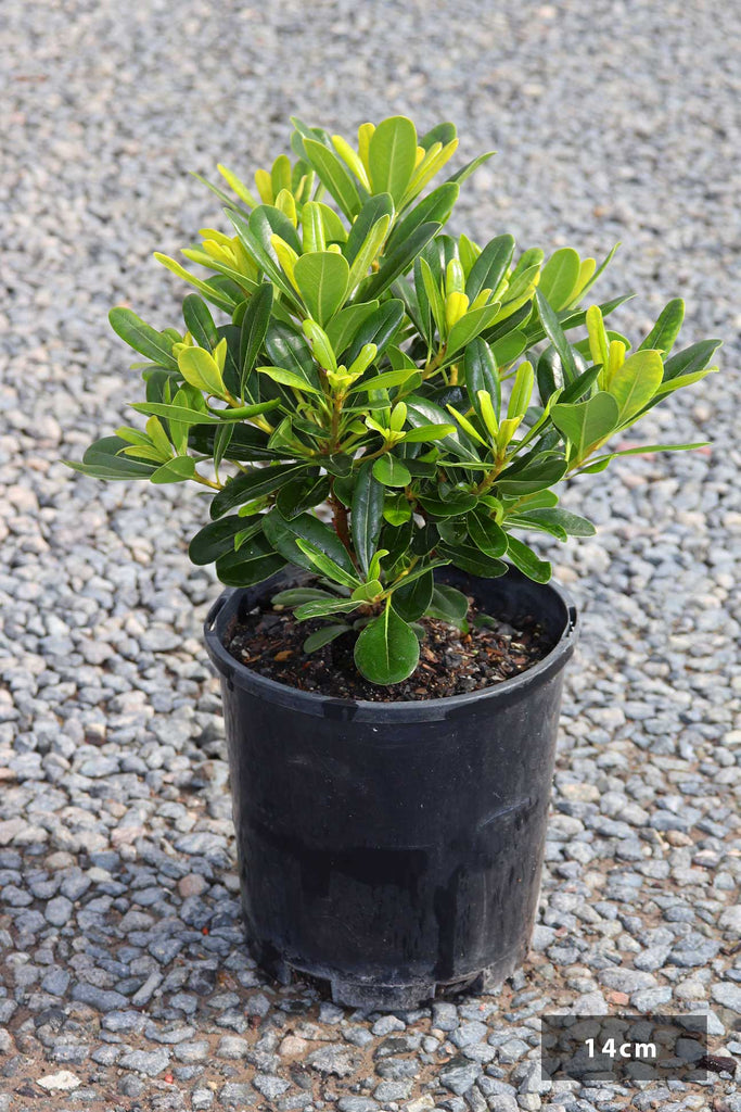 Pittosporum Tobira 'Miss Muffet' in a 14cm black pot