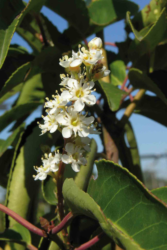 close up of Prunus Lusitanica white little flowers and green foliage