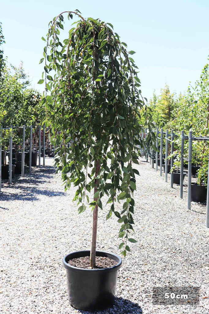 Prunus 'Snofazam' in a 50cm black pot
