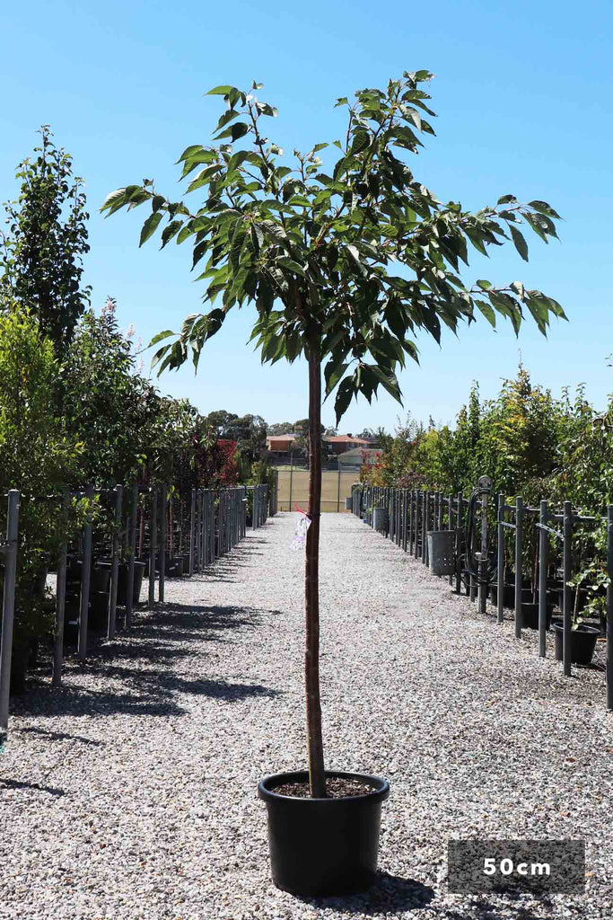 Prunus serrulata Shirotae 'Mt Fuji' in a 50cm black pot