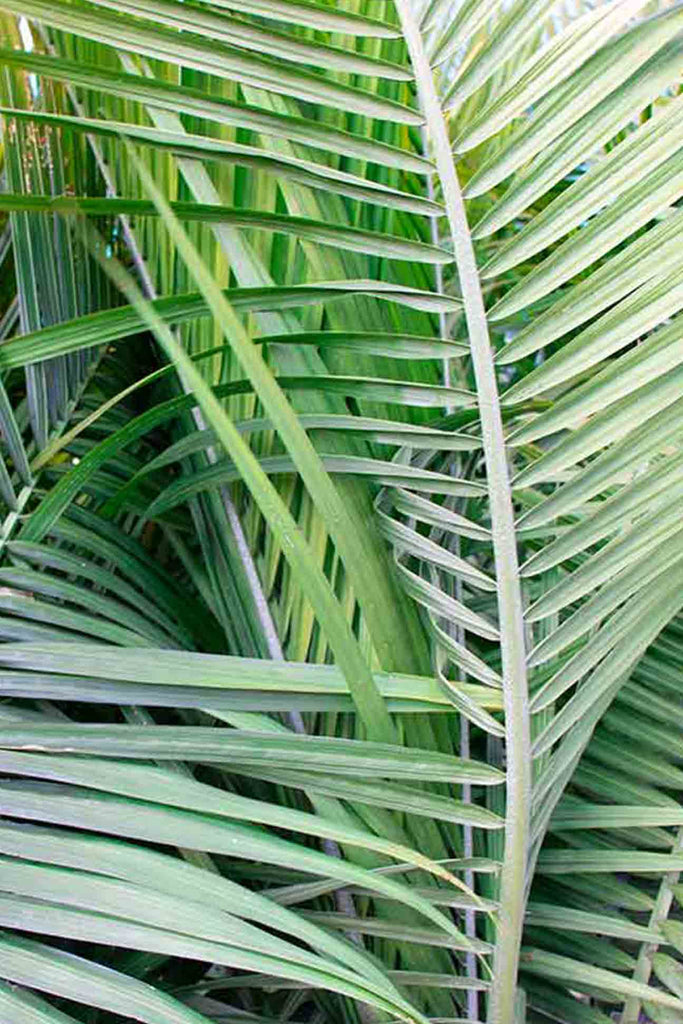 close up of the Ravenea Rivularis palm like and green foliage