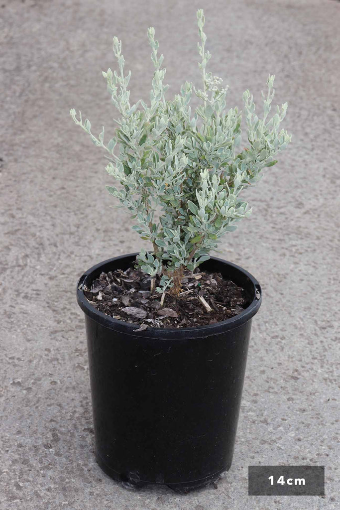 Rhagodia spinescens in a 14cm black pot