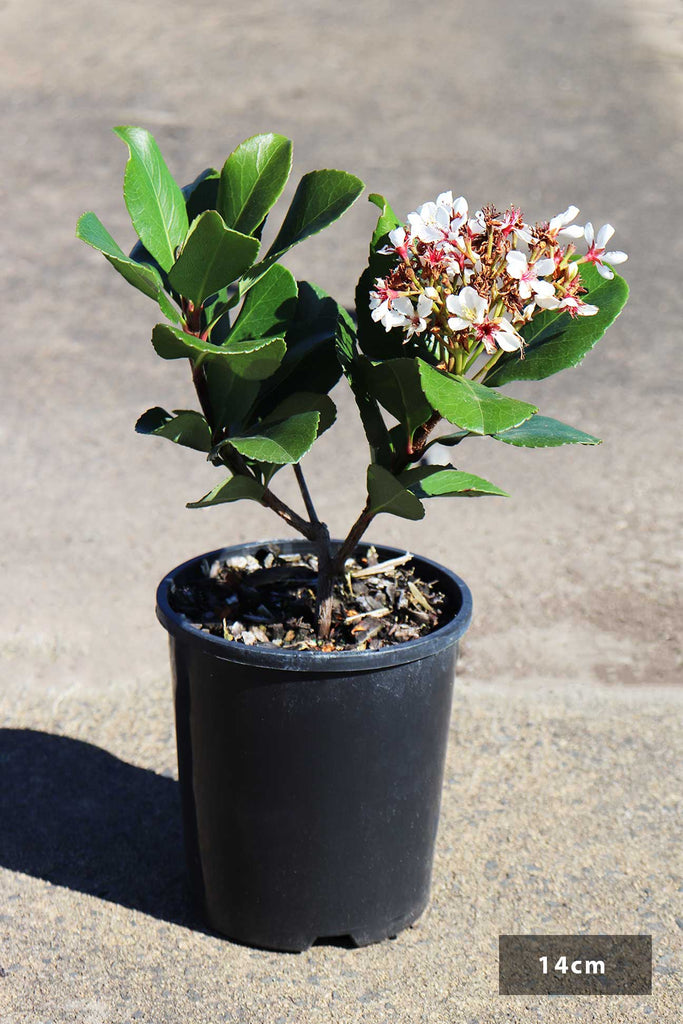 Rhaphiolepis Indica 'Cosmic White' in a 14cm black pot