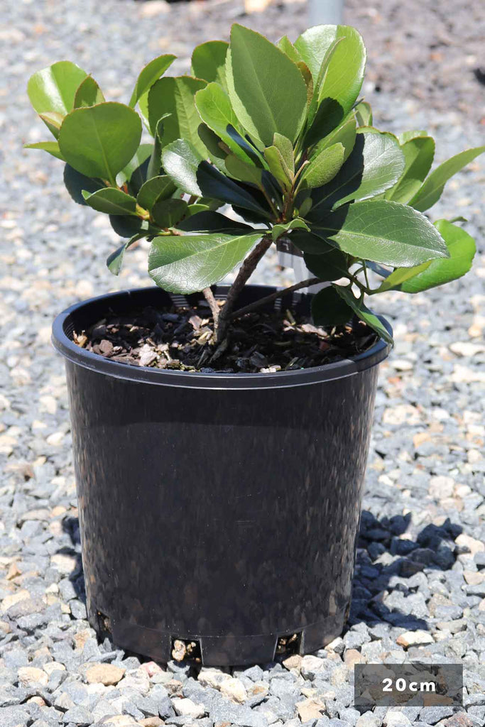 Rhaphiolepis Indica 'Cosmic White' in a 20cm black pot