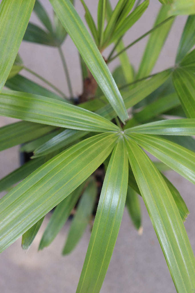 Close up of the green leaves of the Rhapis Excelsa