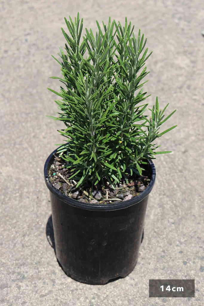 Rosmarinus Officinalis in a 14cm black pot