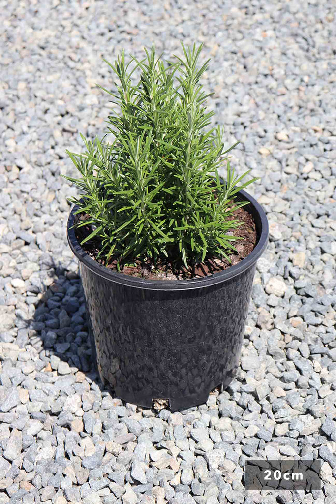 Rosmarinus Officinalis in a 20cm black pot