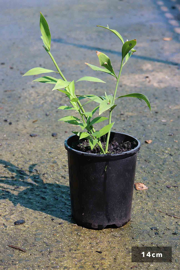 Ruscus Hypoglossum in 14cm black pot