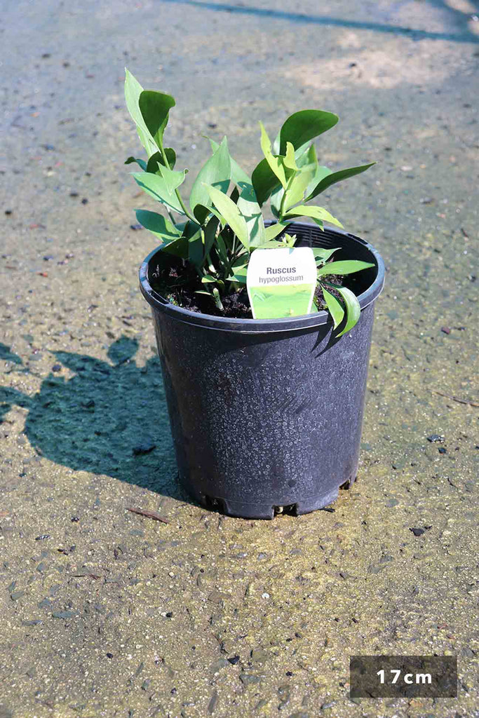 Ruscus Hypoglossum in 17cm black pot