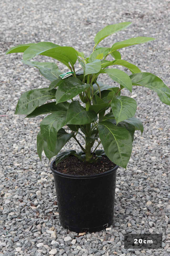 Schefflera actinophylla 'Alpine Junior' in a 20cm black pot