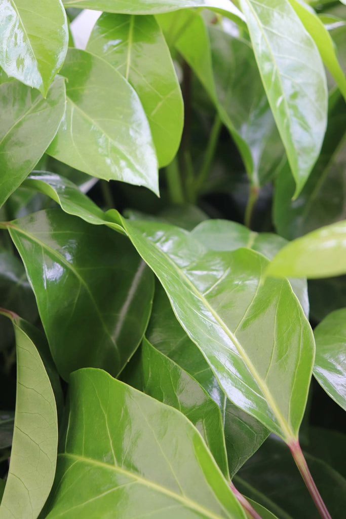 close up of the Schefflera actinophylla 'Alpine Junior' leaves