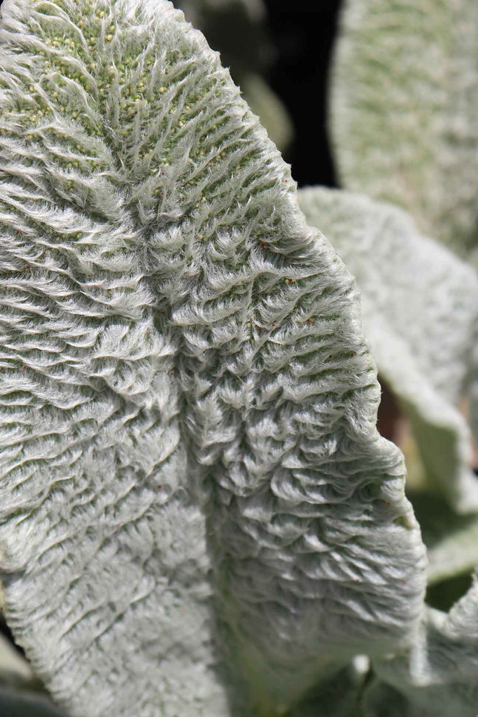 close up of the Stachys lanata Leaf