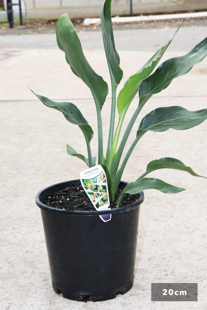 Strelitzia Reginae in a 20cm black pot