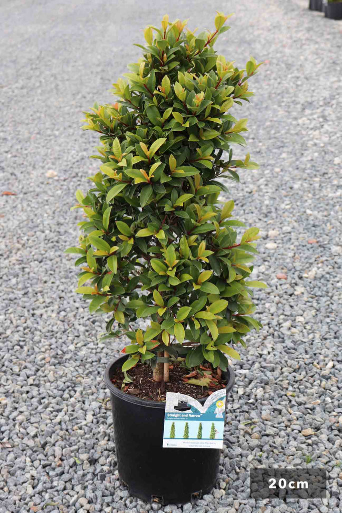 Syzygium Straight and Narrow in a 20cm black pot