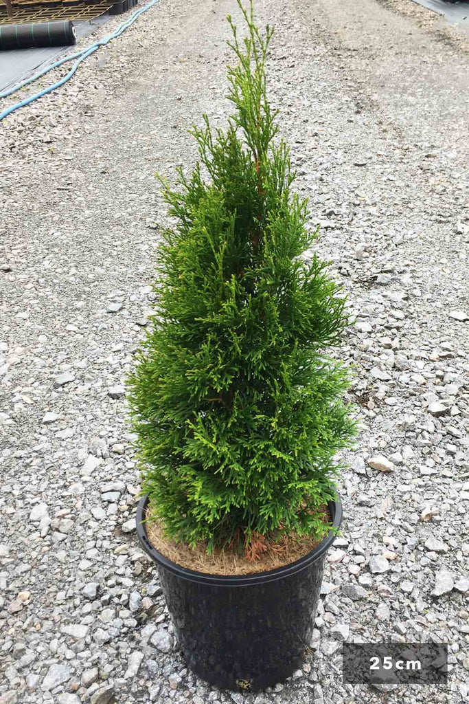 Thuja occidentalis 'Smaragd' in a 25cm black pot