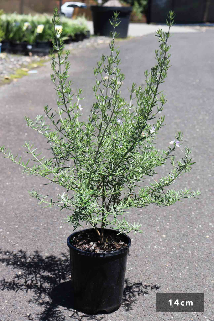 Westringia Fruticosa 'Wynyabbie Gem' in a 14cm black pot
