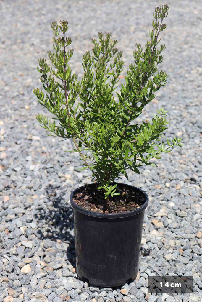 Westringia Fruticosa 'Naringa' in a 14cm black pot