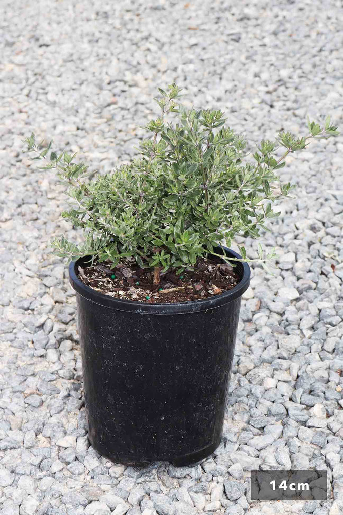 Westringia Fruticosa 'Aussie Box' in a 14cm black pot
