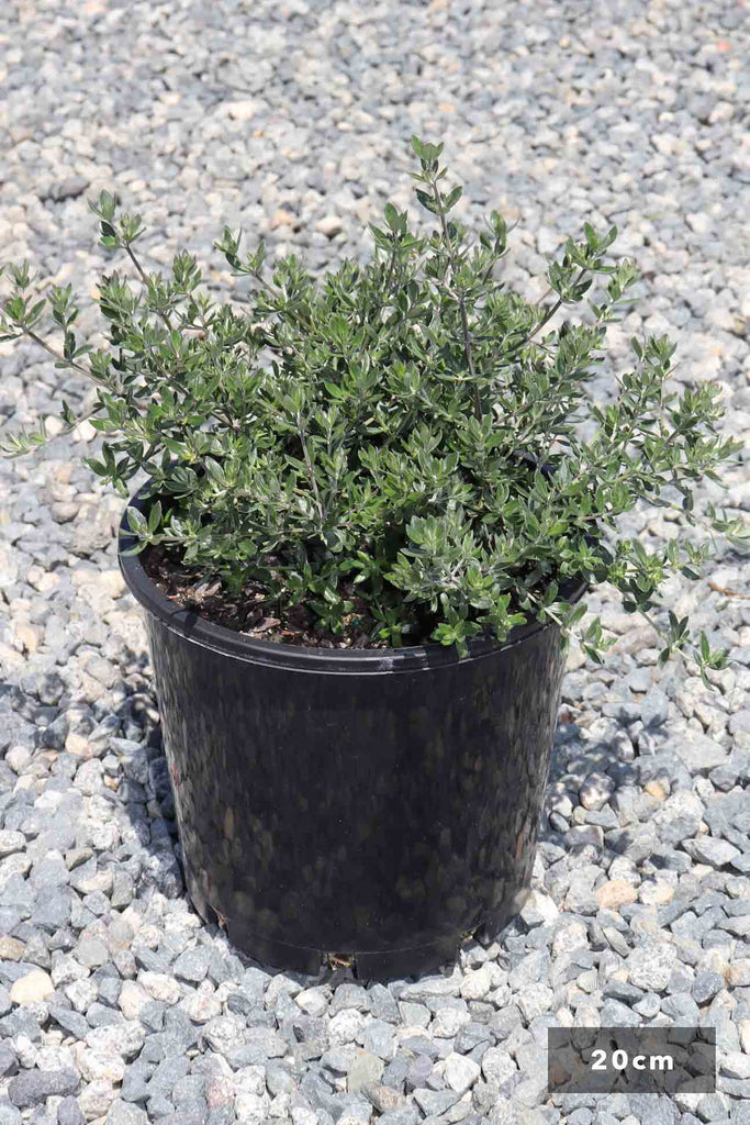 Westringia Fruticosa 'Aussie Box' in a 20cm black pot