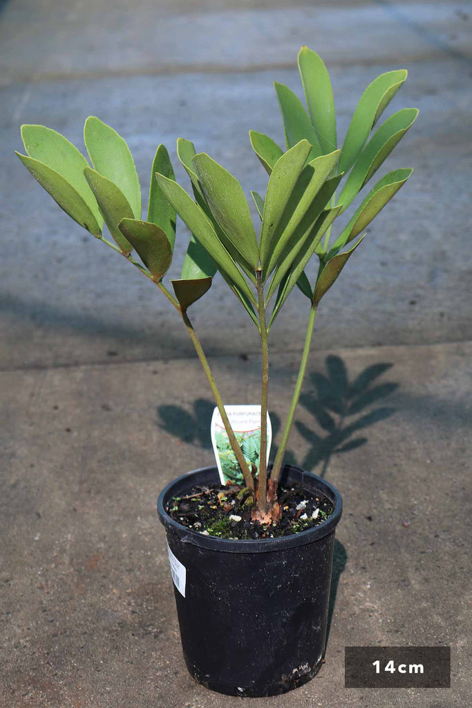 Zamia furfuracea in a 14cm black pot