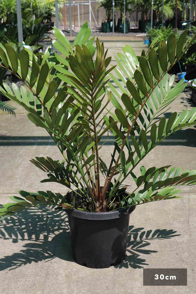 Zamia furfuracea in a 30cm black pot