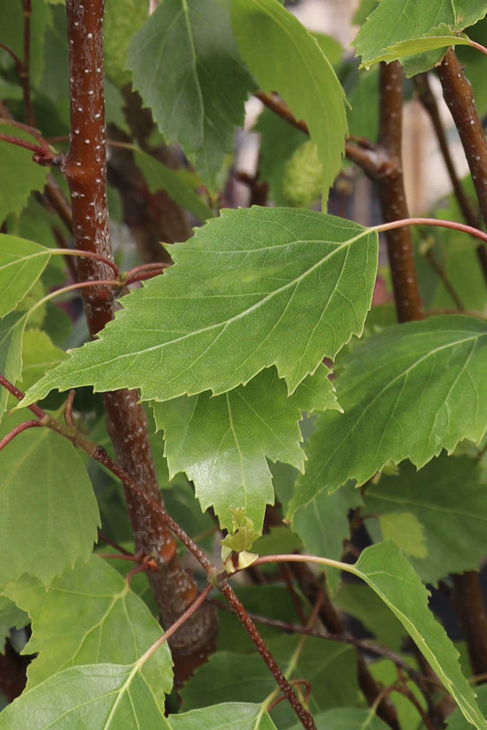 A close up leaf image of the Betula Pendula 'Fastigiata'