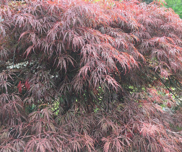 Acer Palmatum Dissectum Crimson Queen Japanese Maple Madison